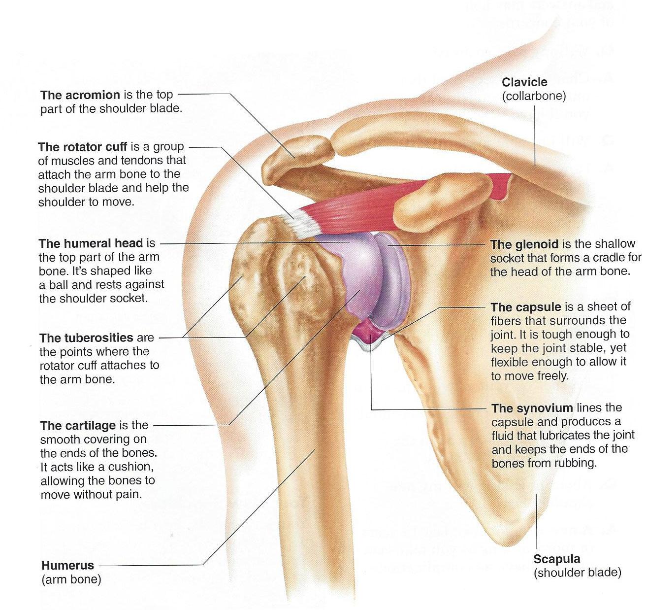 Dr. John Skedros | How-The-Shoulder-Works-bottom